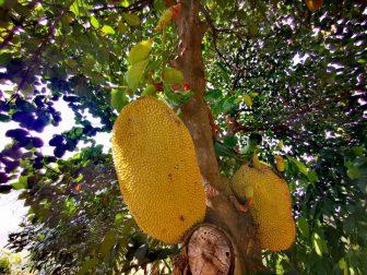 Jackfruit-in-the-Garden-of-Here-and-Now