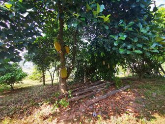 Jackfruit-Tree-in-the-Garden-of-Here-&-Now